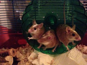 Cage 1 (African Soft Furred Rats)