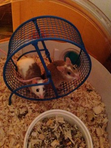 Cage 3 (African Soft Furred Rats)
